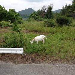 ヤギの遠足