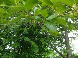 きよみづ郷の柿