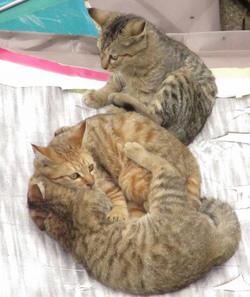 じゃれて遊んでいる3匹の猫