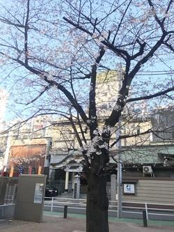 小伝馬町十思公園桜
