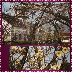 みなとぴあの梅の花